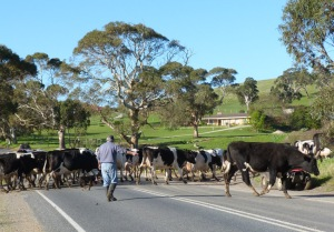 E farmer and dog taking dairy herd across the road near Rapid Bay