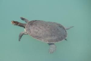 AF Turtle basking on the surface