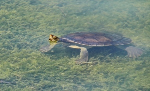 D Turtle in shallow water emerging to take a breath