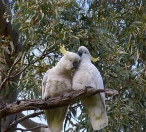 E A pair of affectionate sulphur crests