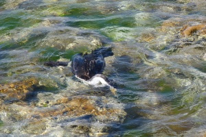 Pied cormorant hunting amongst the shallow rock pools