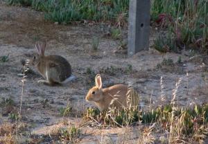 Wild rabbits amongst succulent and grasses on the cliff top
