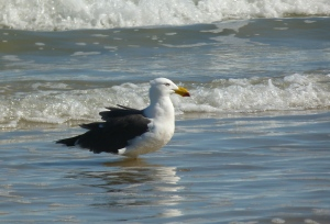 pacific  gull 3