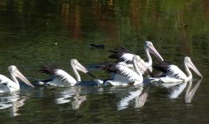 Pelican feeding as a group