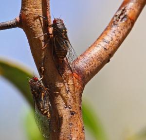 2 Cicadas