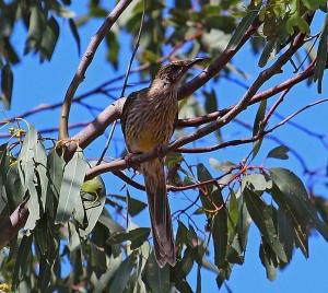 4 Wattle bird
