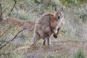 a Euro or hill kangaroo watches the watchers near the track