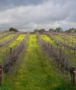 C Vines near McClaren Vale