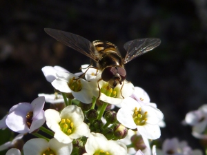 E Hoverfly on blossoms