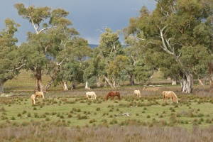 e Wild horses grazing near a creekline