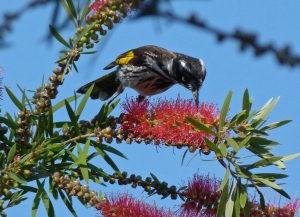 2 New Holland honeyeater probing bottle brush flowers for nectar