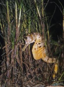 3 Big bellied seahorse