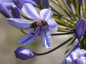 3 Honeybee feeding on a blue agapanthus
