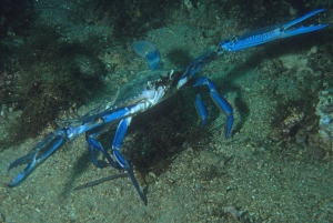 5 Blue swimmer crab
