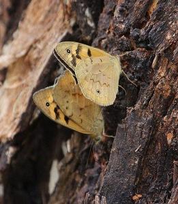 B Meadow argus butterflies