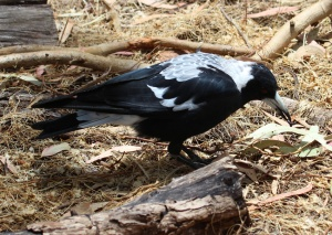 D Magpie with grub