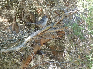 1 Female fairy wren in scrub