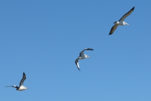 6 Pelicans showing different wing positions in flight