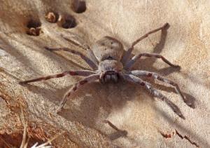 4 Huntsman spider