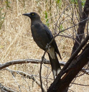 6 Pied Currawong