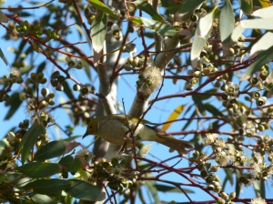 5 white plumed honeyeater red