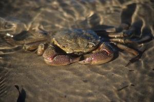 rock crab  aldinga 2
