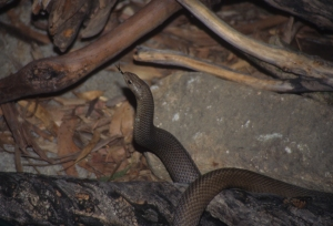 2 brown snake
