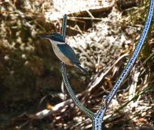 2 sacred kingfisher - Copy