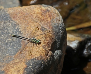 A dragonfly pauses for a moment on a warm rock in the creek