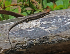 A water skink basking on a log amongst the reeds