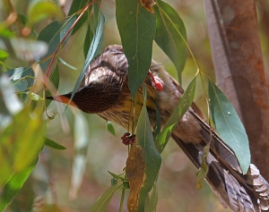 A wattle bird pecks tiny insects from the leaves of a blue gum near the river bank