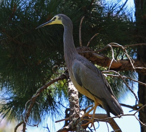 A white faced heron watches the creek from its vantage point in a pine tree