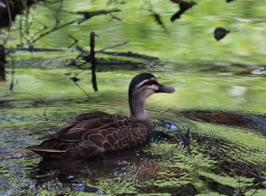 Black duck are common along the waterway