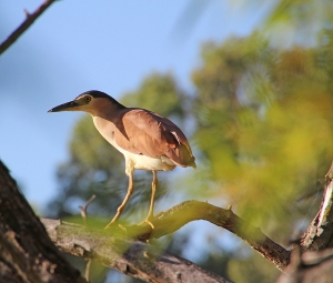 2 Nankeen night heron