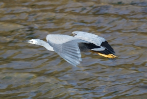 3 white faced heron in flight