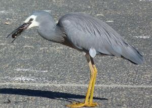 4 heron and yabbie