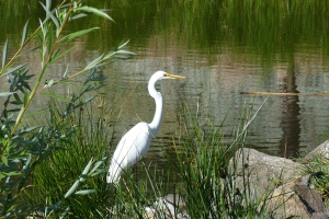 7 greater egret