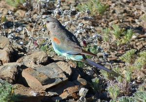 Femal mulga parrot feeding on blue bush berries