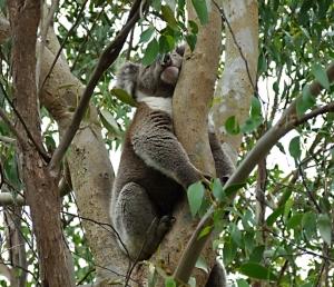 AA Large male koala near the restaurant entrance - Copy