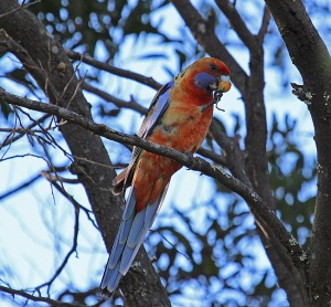 AB Rosella feeding in the trees (click to enlarge)