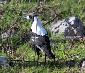 AH White backed magpie (click to enlarge)