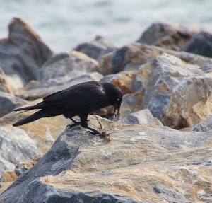 Raven with nesting material