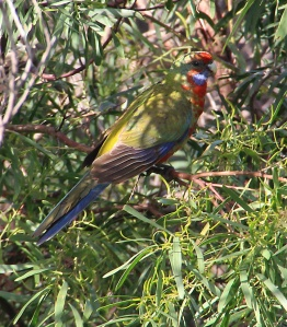 Rosella feeding in accacia tree