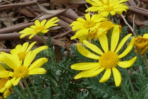 1 Euryops or Little Sunray