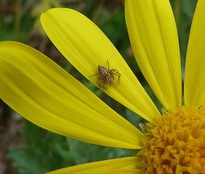Flower spider hunting amongst petals (click to enlarge)