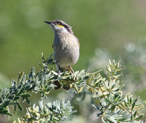 Singing honeyeater in coastal scrub