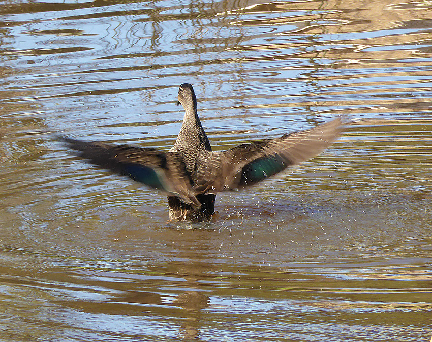 Black duck taking off;  f6.4  @1 250 th sec ISO 100