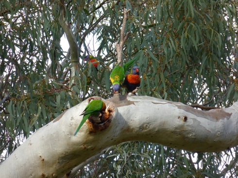 Rainbow lorikeets examining tree hollow f6.4 @1 125  th sec ISO 250