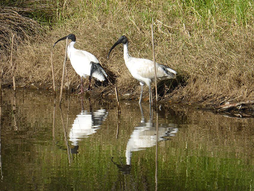 Sacred Ibis reflections f5.9 @ 1 320th sec ISO 100
