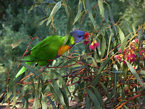 Rainbow lorikeet feeding on eucalyptus blossoms